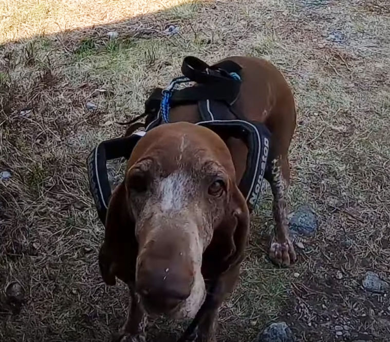 Möt Sia; traillöparhunden!